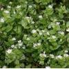 Мокрица (трава) или звездчатка 50 грамм