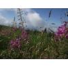 Иван чай рубленый стебель и лист, крупный, растение, кипрей, epilobium angustifolium, Карпат, сухой, эко, высокогорный.