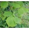 Лещины листья 50 грамм
