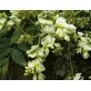 Софора японская цвет 50 грамм