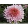 Оптовая продажа черенка хризантемы на срез Сентябрь-Ноябрь