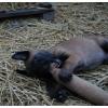 Щенки бельгийской овчарки (малинуа) .