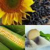 НВФ «ГРАН» пропонує насіння соняшника, кукурудзи, ярого/озимого ріпаку та кормового/цукрового буряку