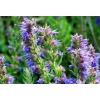 Иссоп лекарственный (трава с цветом) 50 грамм