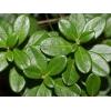 Листья брусники 50 грамм