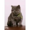 Котёнок из питомника Gentle-miracle