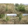 Саженцы можжевельника съедобного, Juniperus, верес обыкновенный, куст, дерево под заказ.