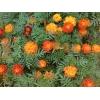 Цветы бархатцы (чернобривцы)   100 грамм
