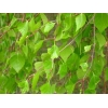 Листья березы 50 грамм