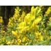 Ракитник трава с цветом (Зіновать руська) 50 грамм