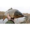 Живая товарная рыба: карп (зеркальный) , белый амур, толстолоб.