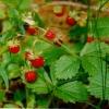 Листья земляники с корешком 50 грамм