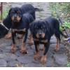 Подрощеные щенки ротвейлера
