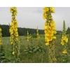 Коровяк скипетровидный (трава с цветом) 50 грамм