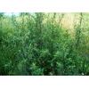 Трава чернобыльник 50 грамм