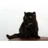 Котёнок от гранд-интер-чемпиона
