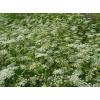 Бедренец камнеломка (трава) 50 грамм