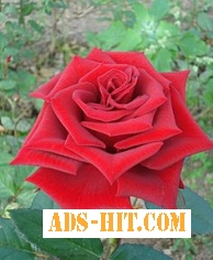 Саженцы роз, плодовых деревьев. Бахмут