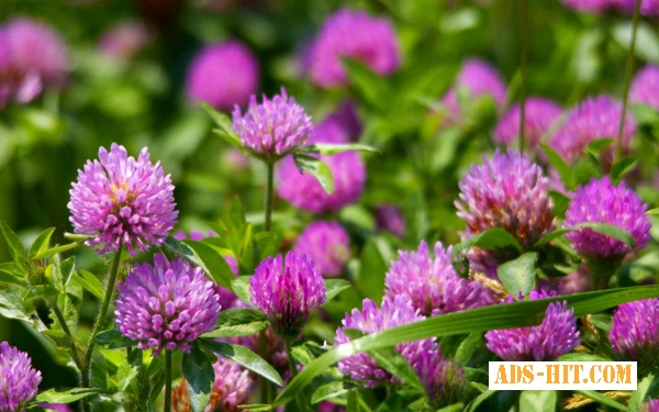 Клевер цветы 50 грамм