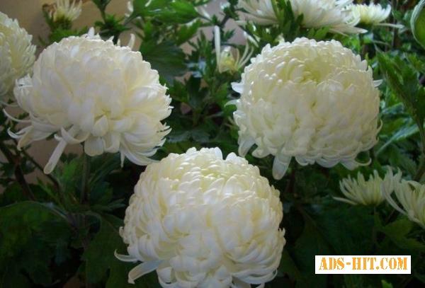 Корни хризантемы