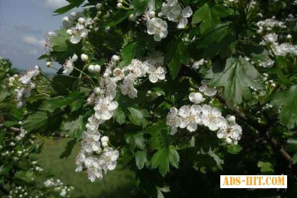Цвет боярышника 50 грамм