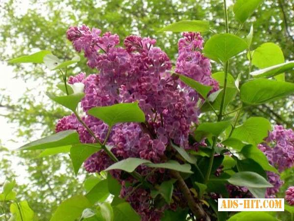 Цвет сирени (сирень обыкновенная бузок) 50 грамм
