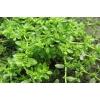 Грыжник трава 50 грамм