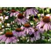 Эхинацея пурпурная (цветы) 50 грамм