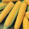Сахарную кукурузу в початках.