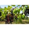 Плоды черёмухи 100 грамм