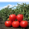 Семена томата Анита (KS 829 F1) фирмы Китано