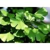 Гинкго Билоба (листья) 50 грамм