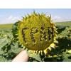 Продаємо насіння соняшнику ОСМАН під євро-лайтнінг/засухостійкий
