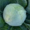 Семена белокочанной капусты KS 60 F1 фирмы Китано