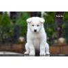 Элитных щенков породы Аляскинский маламут белого окраса