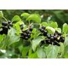 Жостер (плоды жостера) 50 грамм
