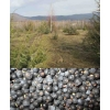 Можжевельник ягода, плоды, шишкоягоды, обыкновенный Juniperus верес.