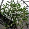 Листья омелы 50 грамм