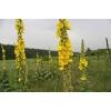 Цветы коровяк (коровяк скипетровидный) 50 грамм