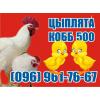 Супер Цыплята бройлер. Венгрия