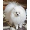 Предлагаем к продаже белого померанского карликового (цверг) шпица.