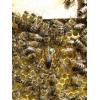 Пчёлы карпатка: пчелиные плодные матки и пчелопакеты