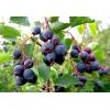 Ирга плоды 100 грамм