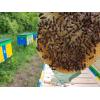 В избранные Бджоломатки - Пчеломатки Карпатка F1 и Степная Украинская 2019 Пологи - изображение 1 Бджоломатки - Пчеломатки Карп