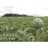 Артишок (трава)    50 грамм