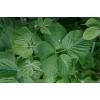Листья ежевики 50 грамм