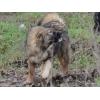Кавказская овчарка, девочка 7 месяцев.