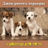 Щенки 2018 Джек рассел терьера предлагаются Киев