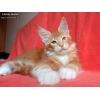 Кошки-гиганты с суровым взглядом и нежной душой