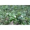 Костяника листья 50 грамм